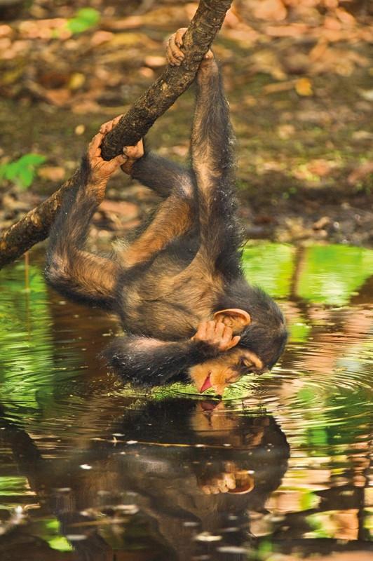 Clementoni - Schimpanse